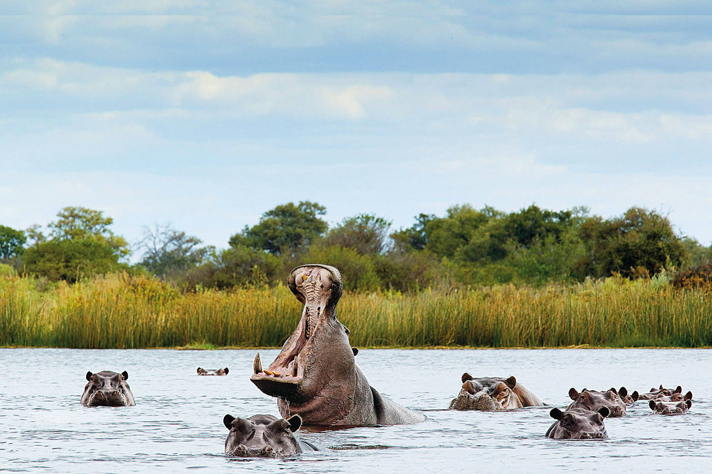 Belligerent hippo in river