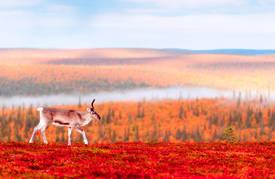"""Expedition Indian Summer in Lappland – Zur """"Ruska"""" in den hohen Norden"""