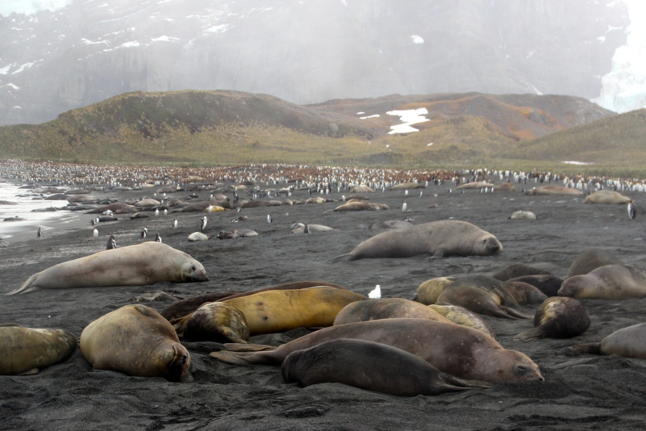 Antarktis_Kreuzfahrt_Bremen_Gold_Harbour_Seeelefanten_Strand_pushreset