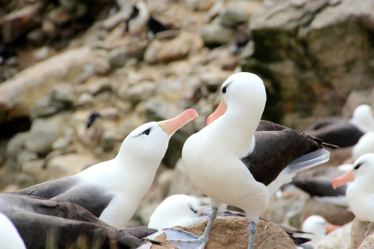 Antarktis_Kreuzfahrt_Bremen_New_Island_Albatrosse_pushreset