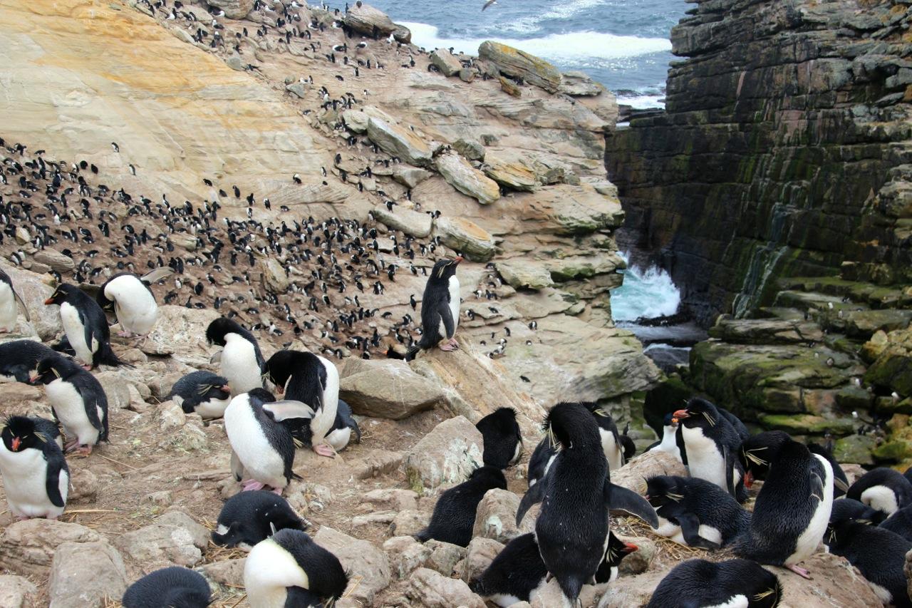 Antarktis_Kreuzfahrt_Bremen_New_Island_Rockhopperkolonie_pushreset