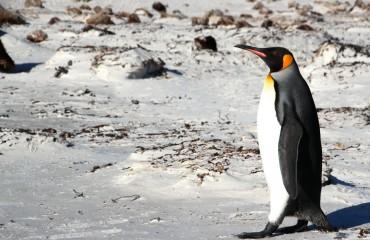 Antarktis_Kreuzfahrt_Bremen_Volunteer_Beach_Pinguin_unterwegs_pushreset