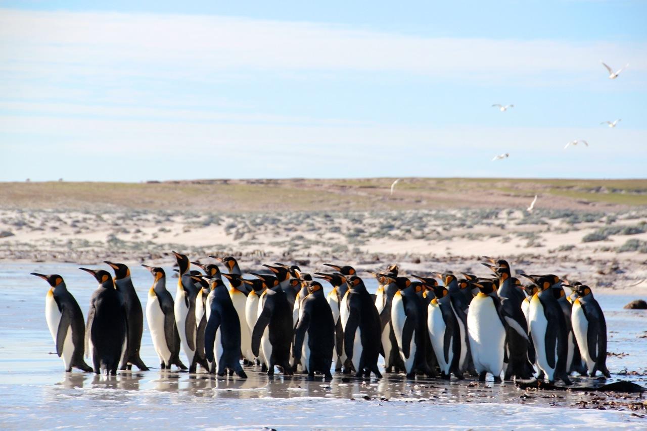 Antarktis_Kreuzfahrt_Bremen_Volunteer_Beach_Pinguine_Gruppe_pushreset