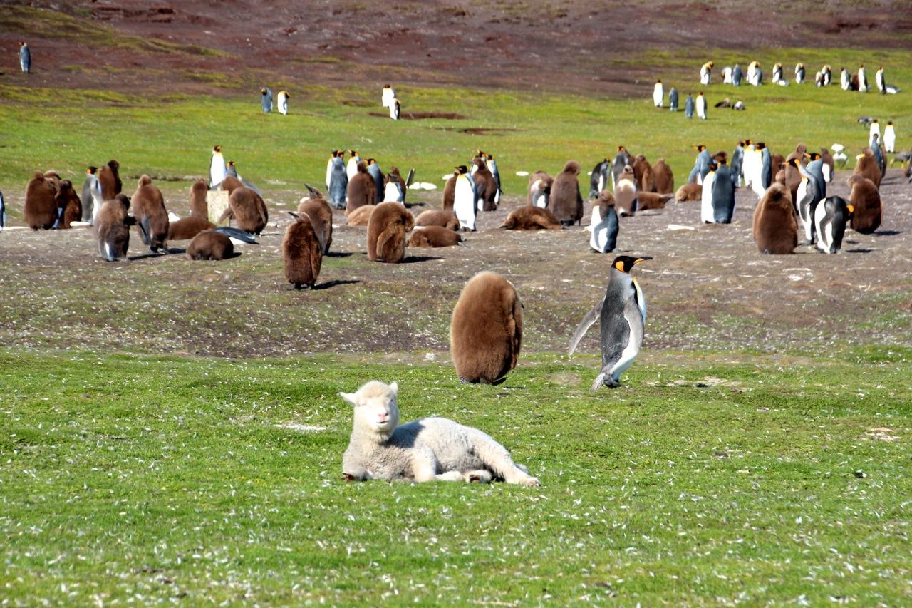Antarktis_Kreuzfahrt_Bremen_Volunteer_Beach_Schaf_pushreset