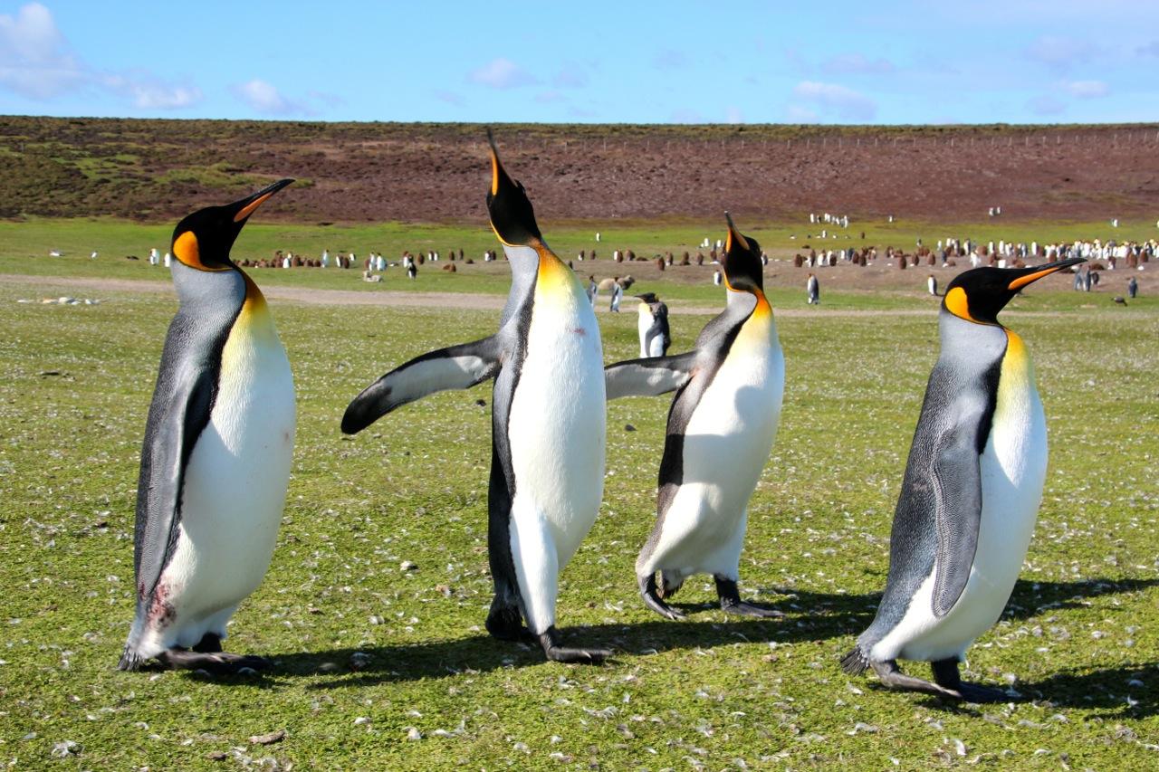 Antarktis_Kreuzfahrt_Bremen_Volunteer_Beach_halbstarke_Pinguine_pushreset