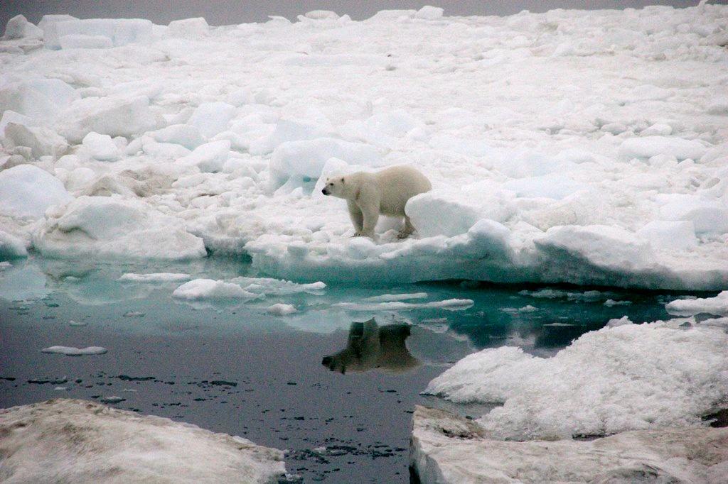 Wrangel Island Eisbär T.LANGE-HITZBLECK (2)