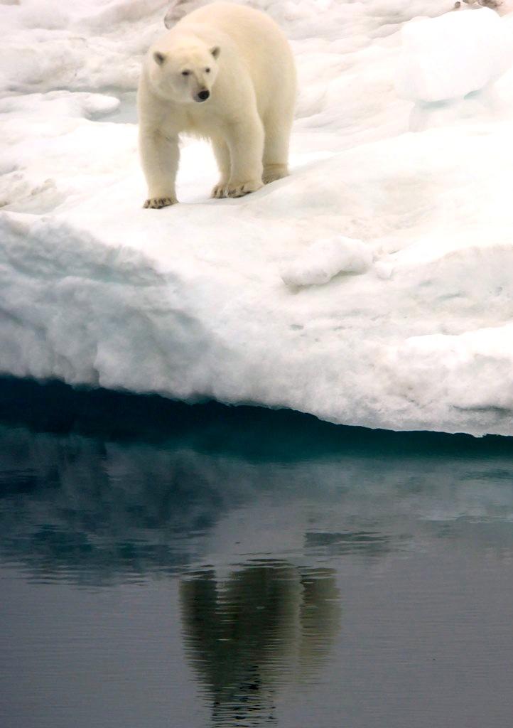 Wrangel Island Eisbär T.LANGE-HITZBLECK (3)