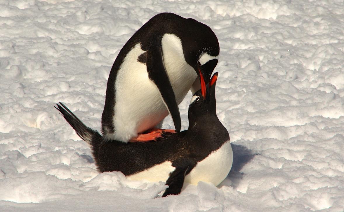 Pinguinsex