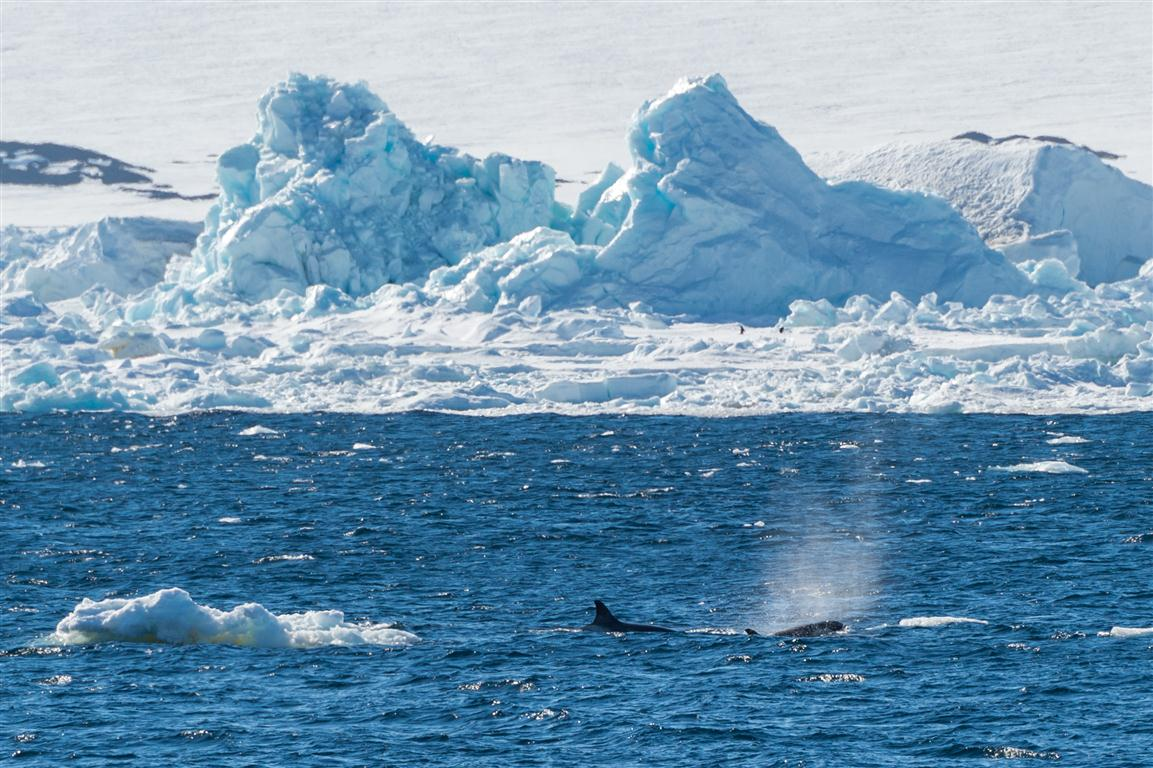 orcas (Medium)