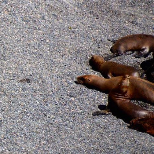 13.02. Seelöwen bei der Küstenwanderung Puerto Madryn_1