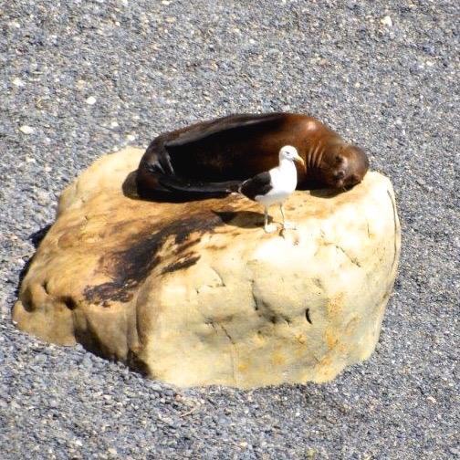 13.02. Seelöwen bei der Küstenwanderung Puerto Madryn_2