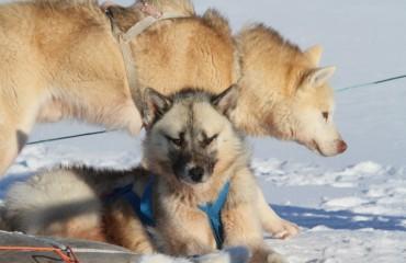 156 Huskies im Schnee (Kopie)