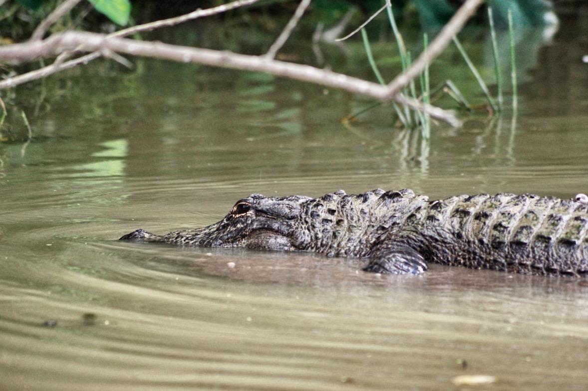 Alligatoren-Miami