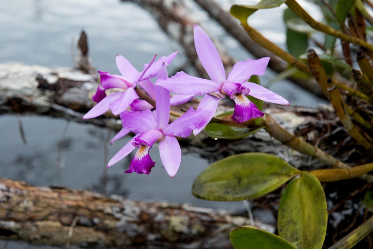 Orchidee_RioJutai (1)