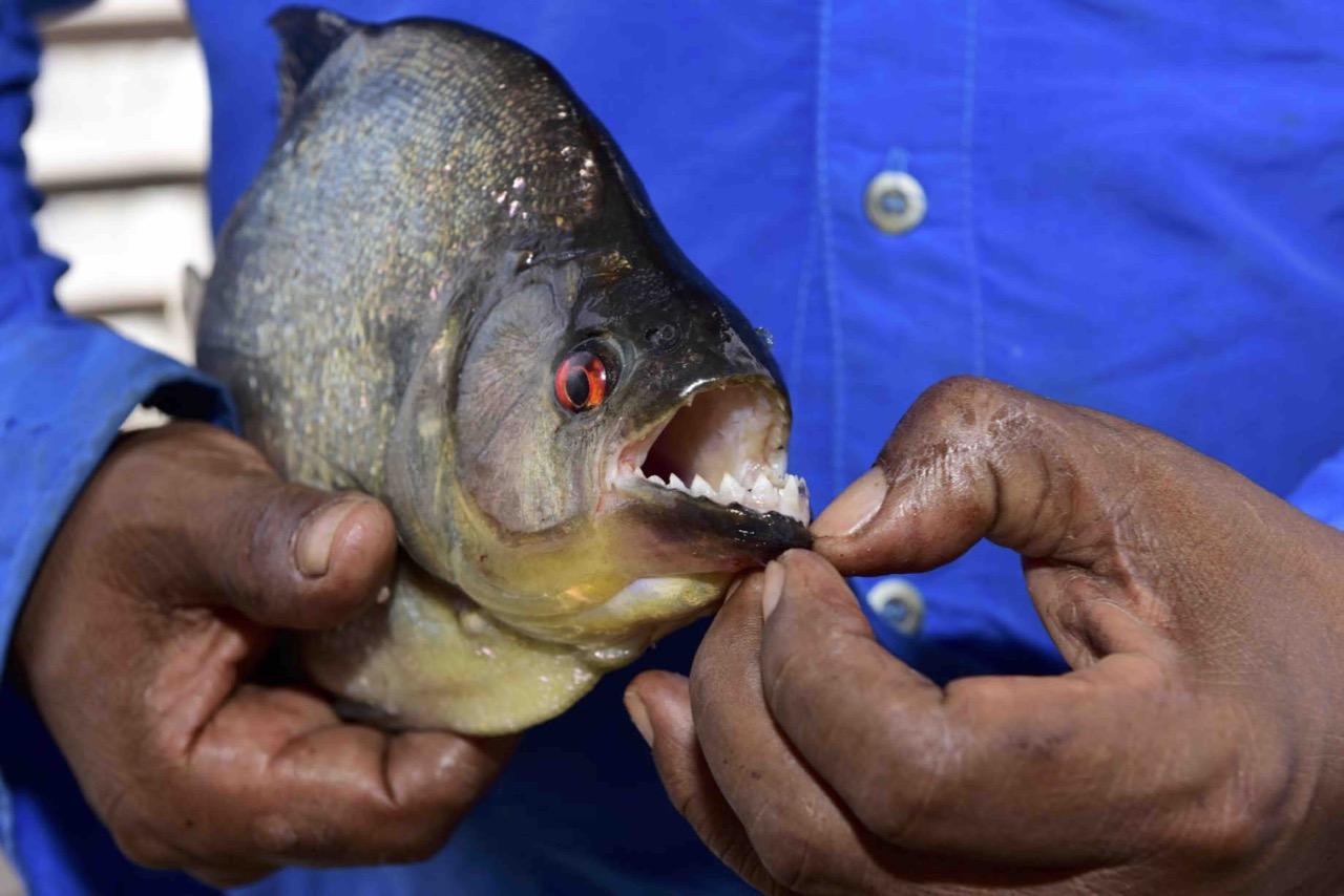 HAN1507 Piranha