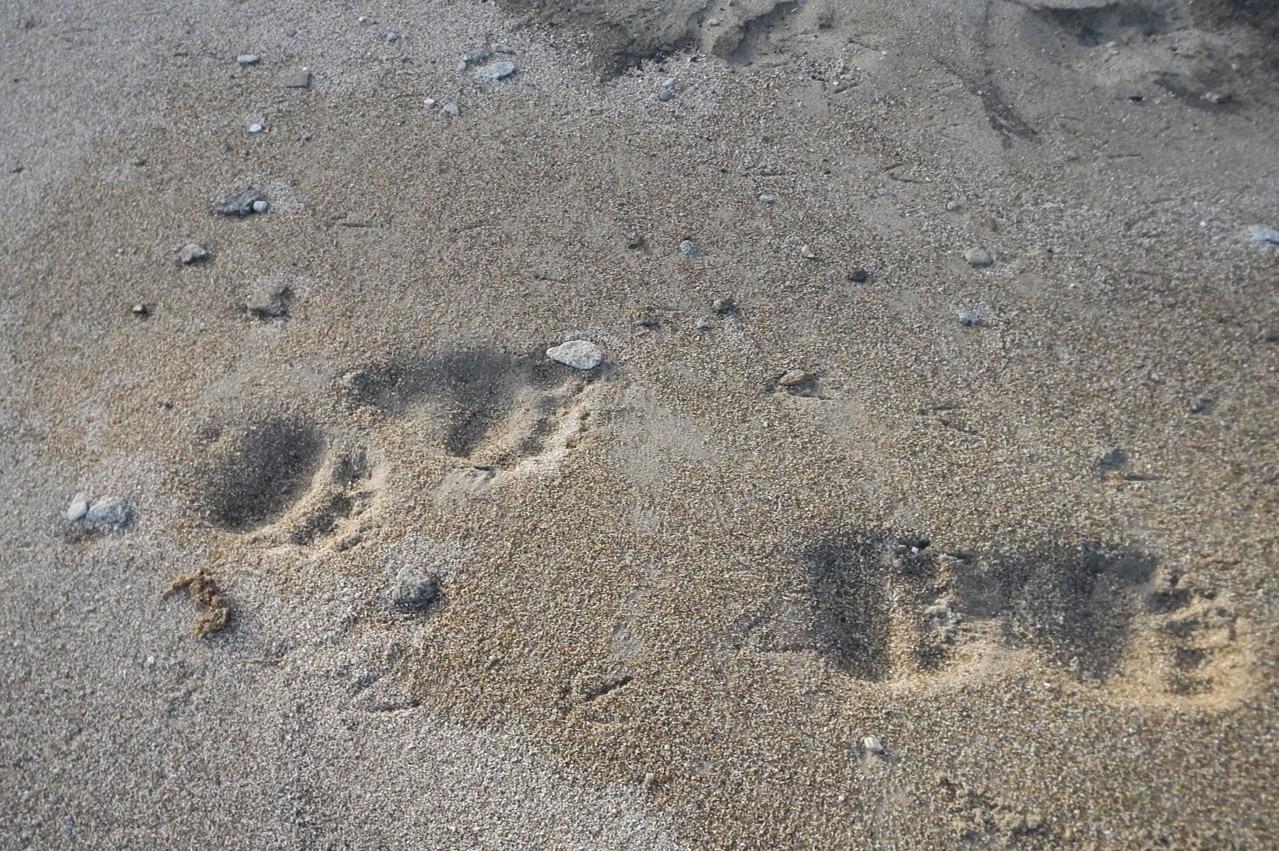Eisbärenspur_im_Sand