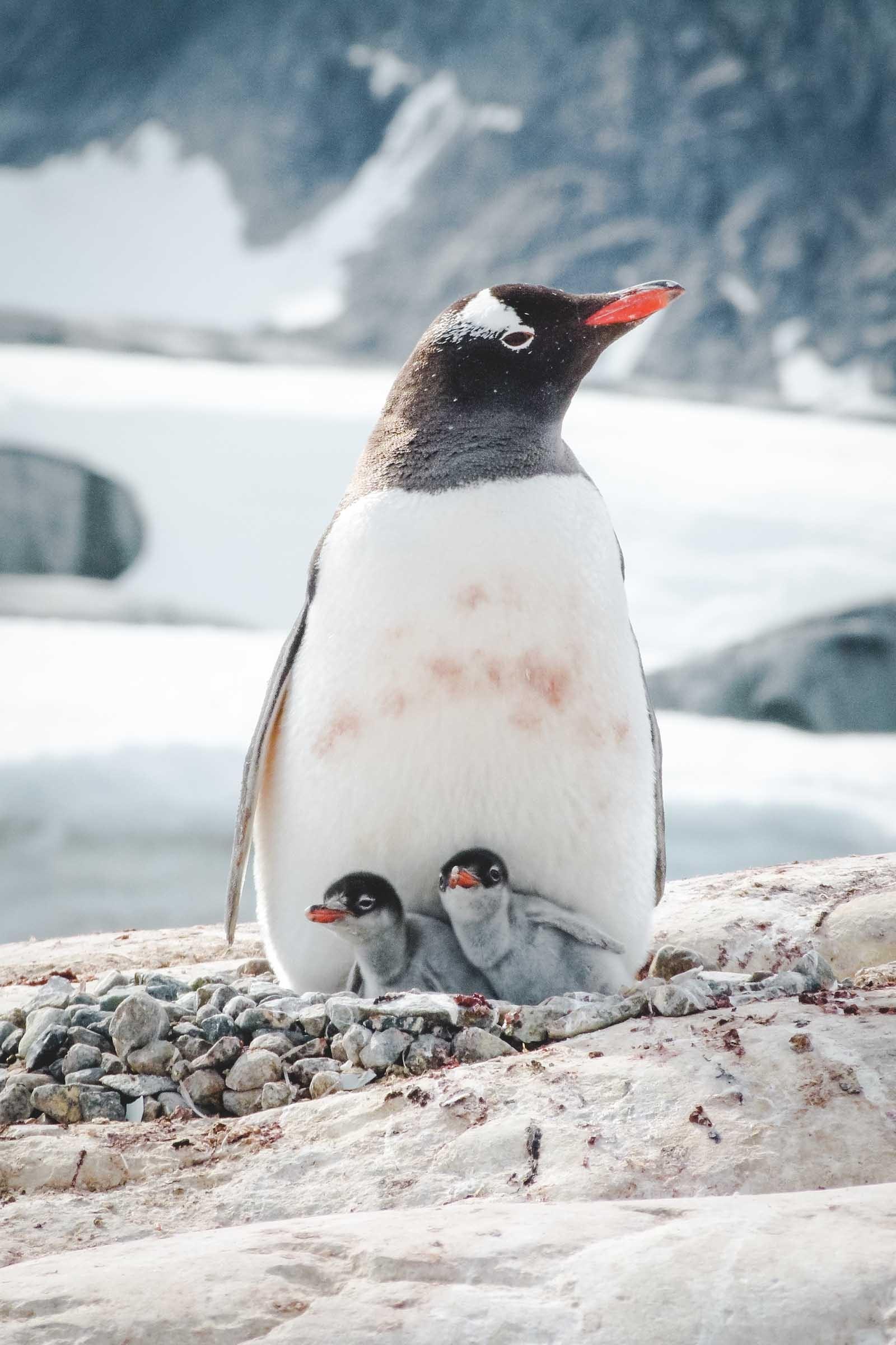gentoo-penguin-antarctica-e1445690033785
