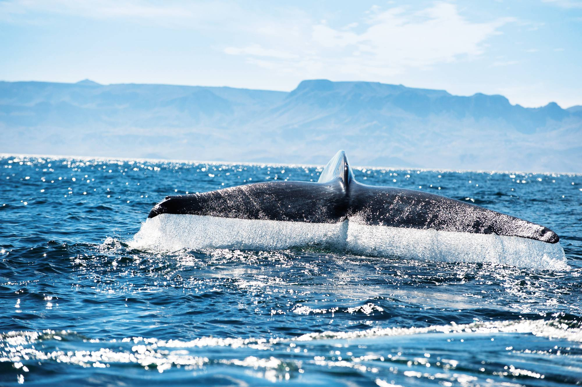 Bluewhale_Andrea_Steffen_HL_F39-300