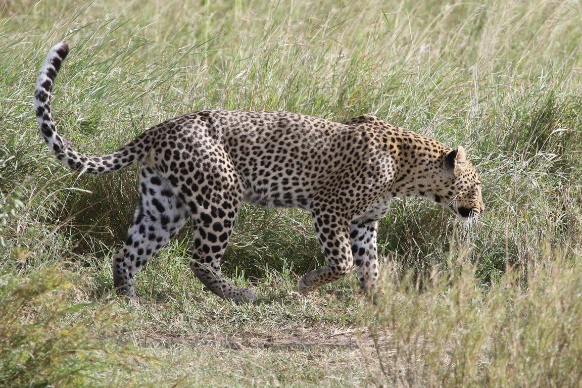 Leopard in der Serengeti
