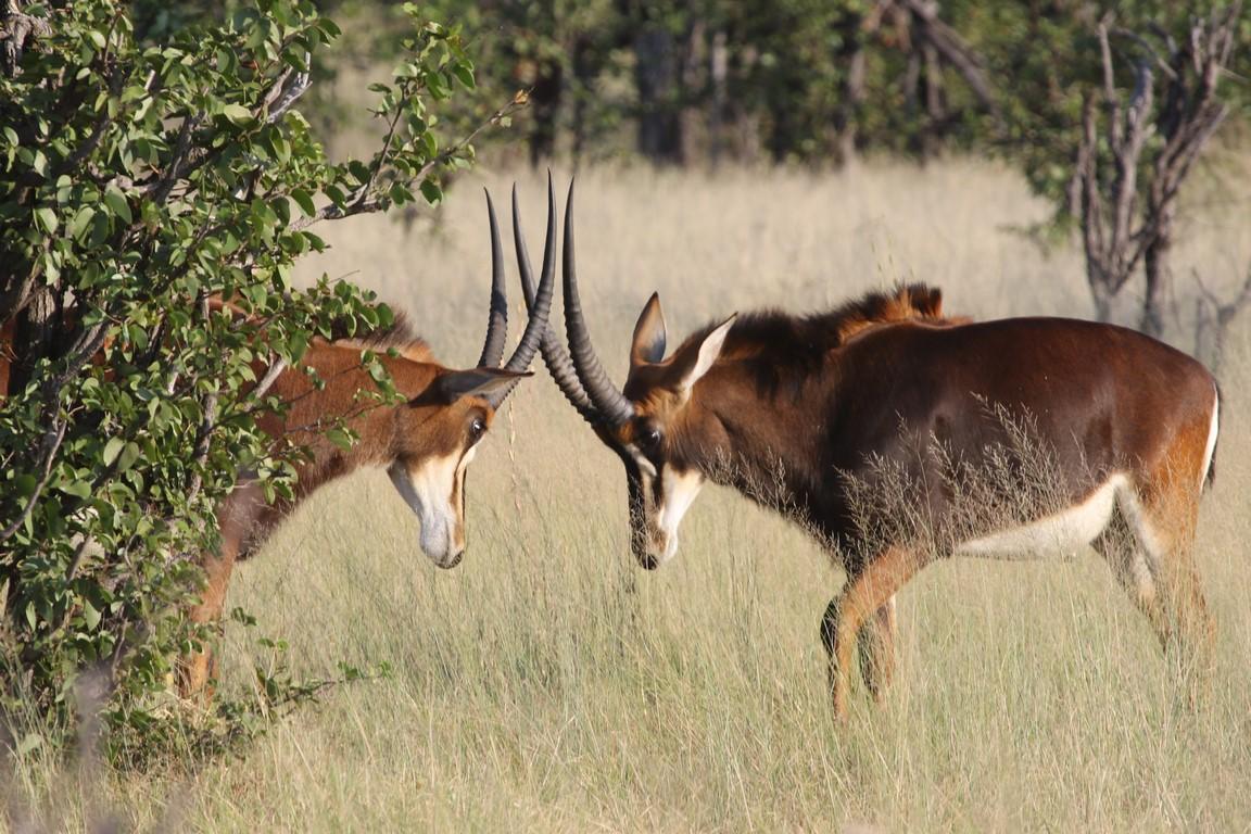 Duell der Säbelantilopen