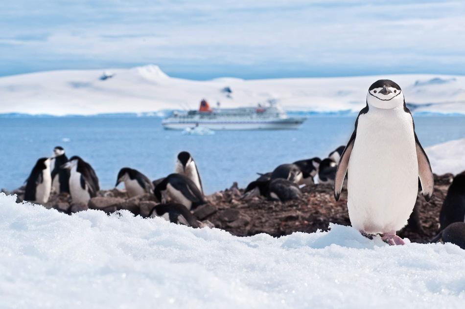 Antarktis 2011: Halfmoon Island: Zuegelpinguine.