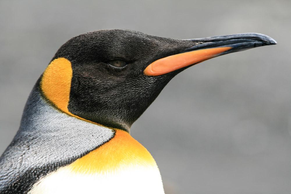 Koenigspinguine-Kertelhein-Antarktis-1