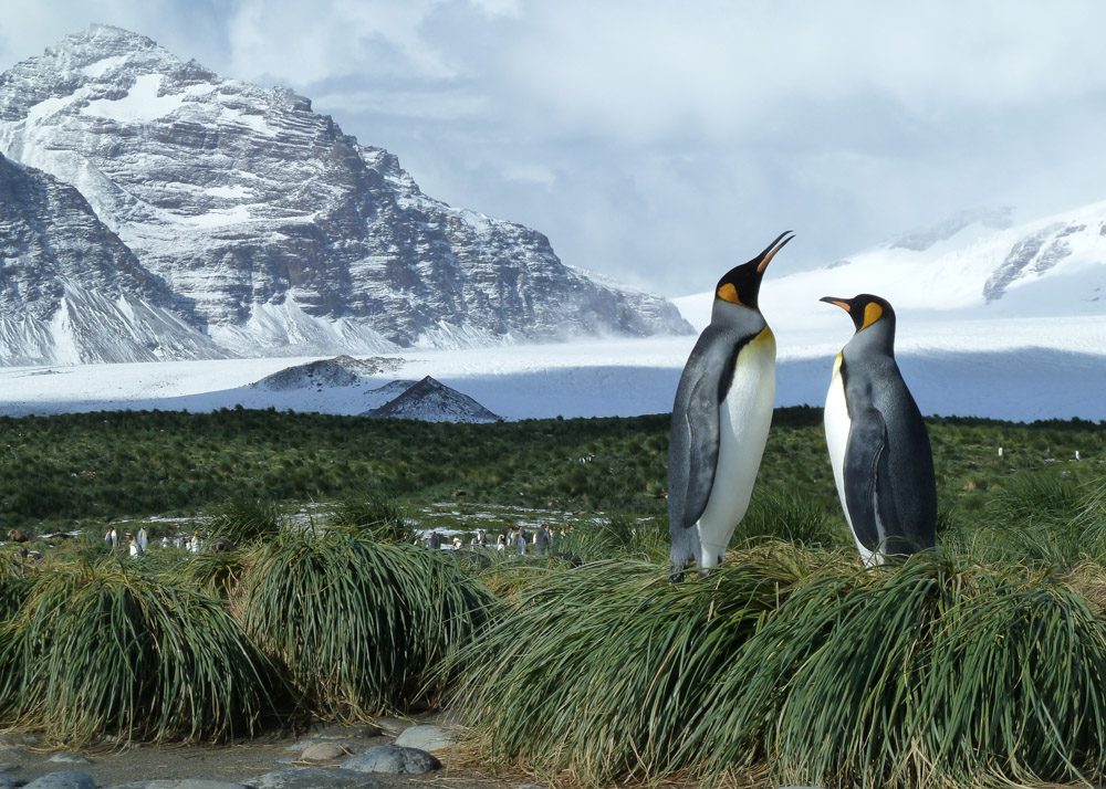 Koenigspinguine-Kertelhein-Antarktis-2