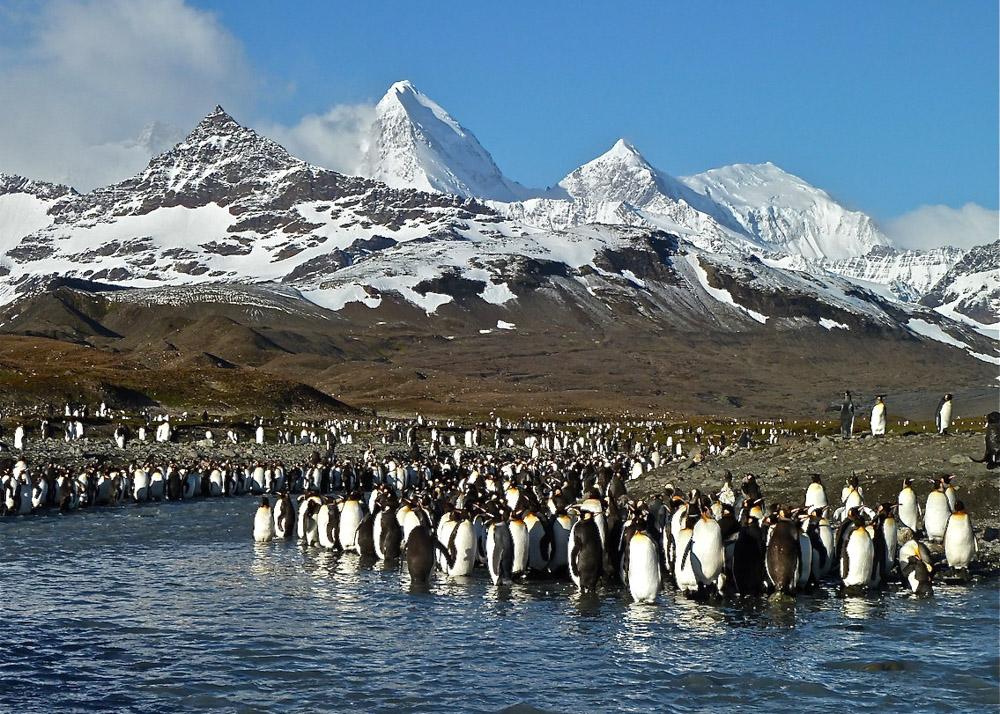 Koenigspinguine-Kertelhein-Antarktis-3