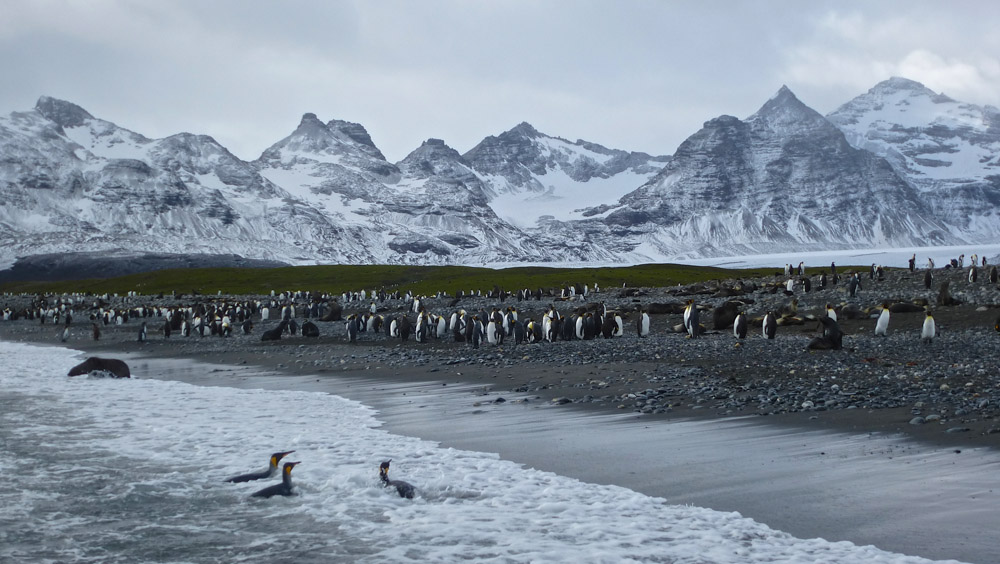 Koenigspinguine-Kertelhein-Antarktis-4