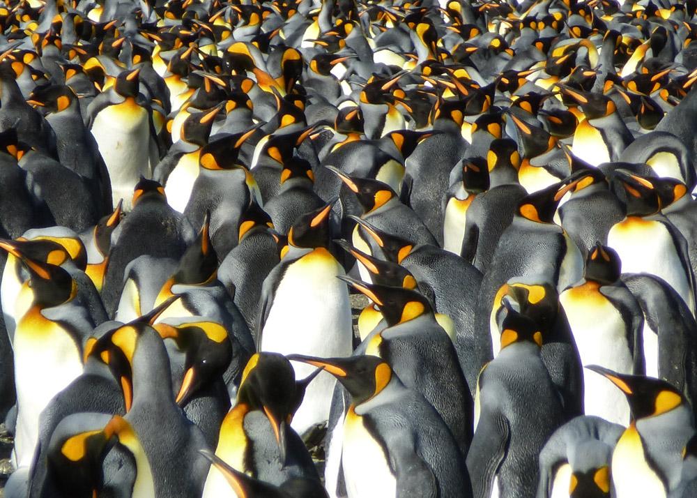 Koenigspinguine-Kertelhein-Antarktis-7
