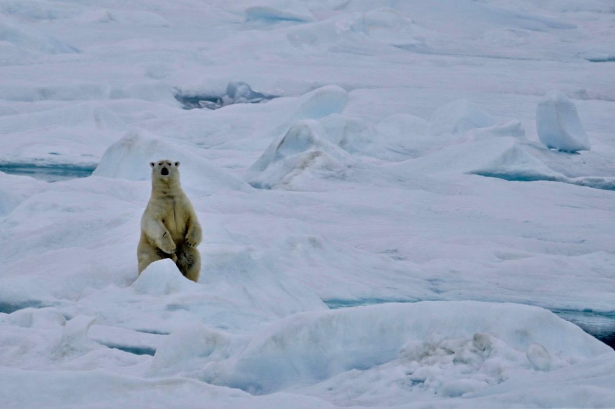 HANSEATIC_Groenland_Eisbaer