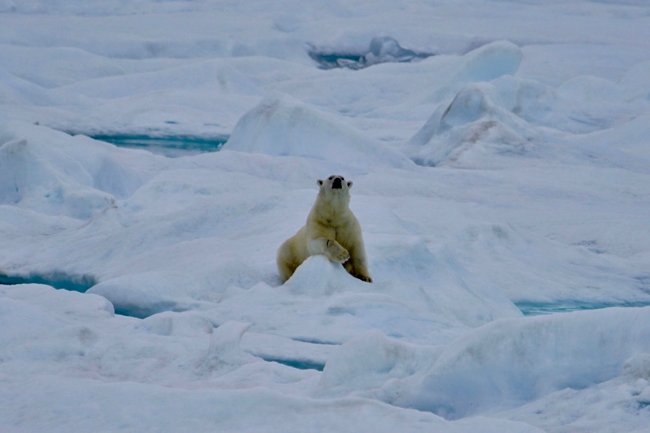 HANSEATIC_Groenland_Eisbaer2