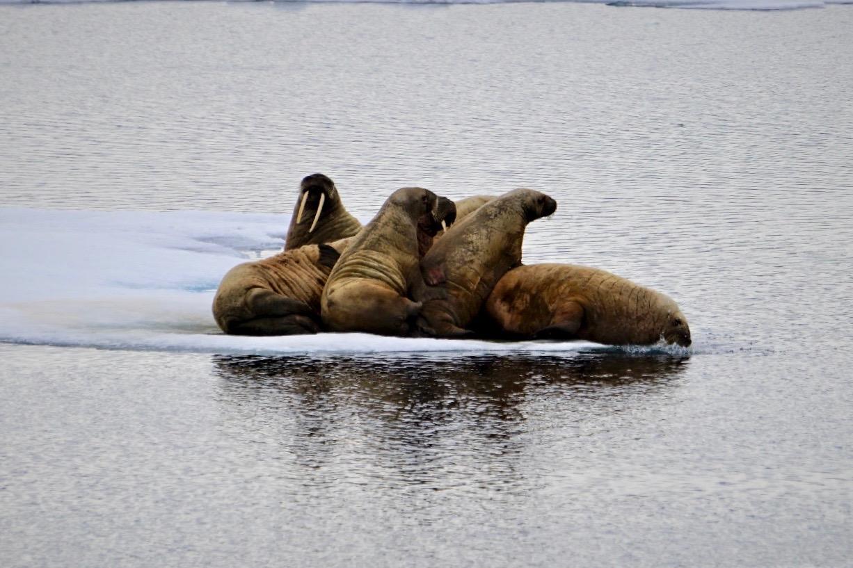 HANSEATIC_Groenland_Walrosse