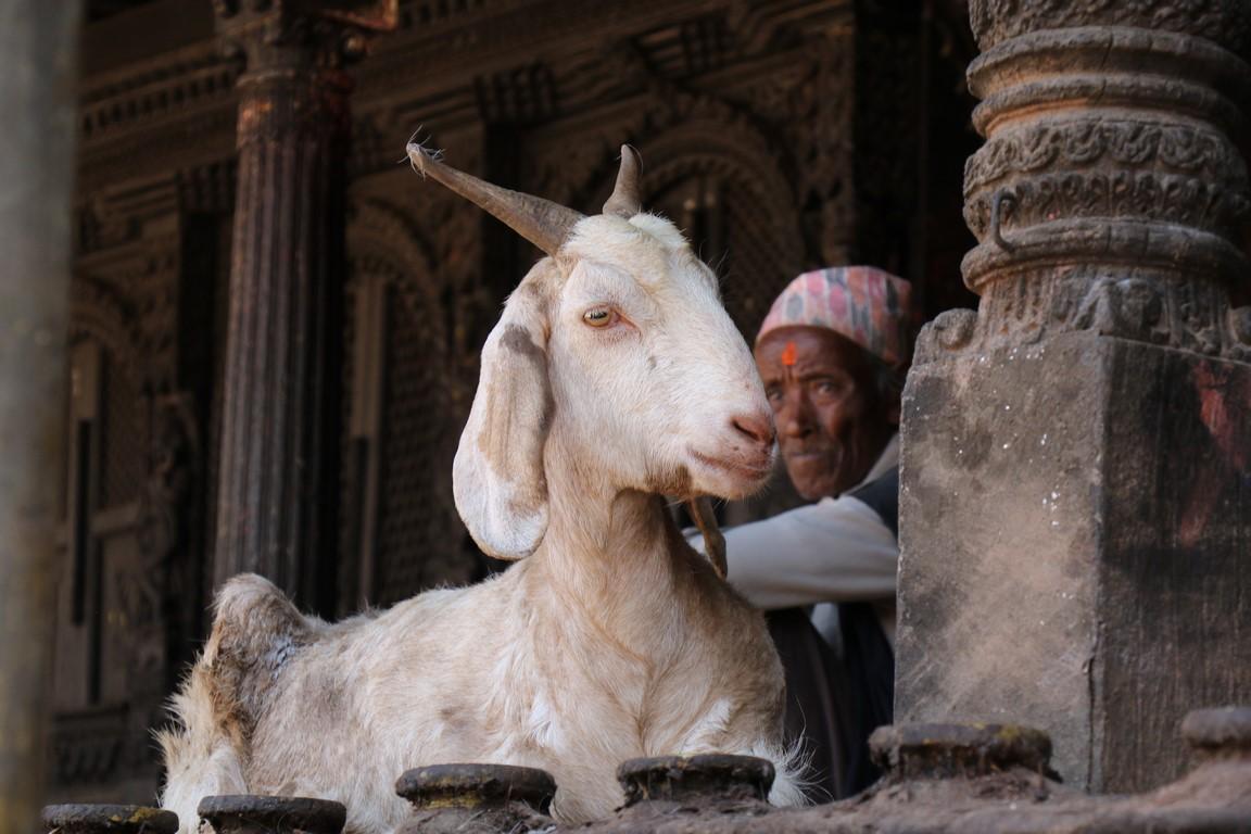 02 Bhaktapur, der alte tempelbock