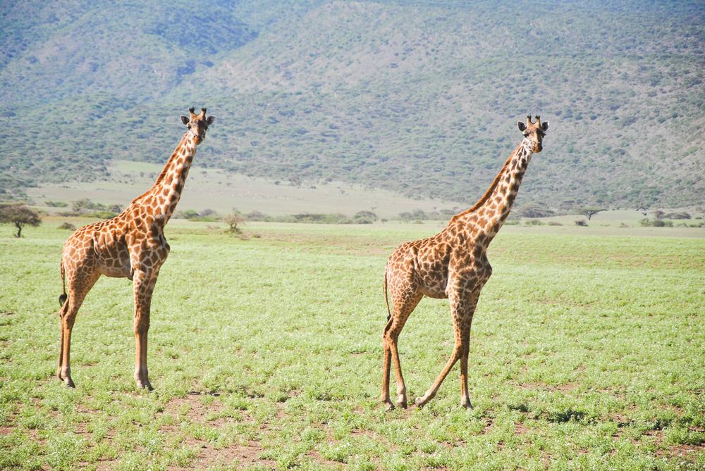 Giraffen-4