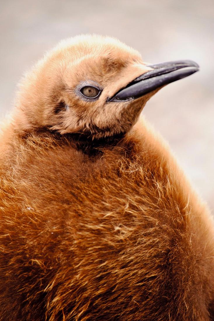 Antarktis, Suedgeorgien 2011:
