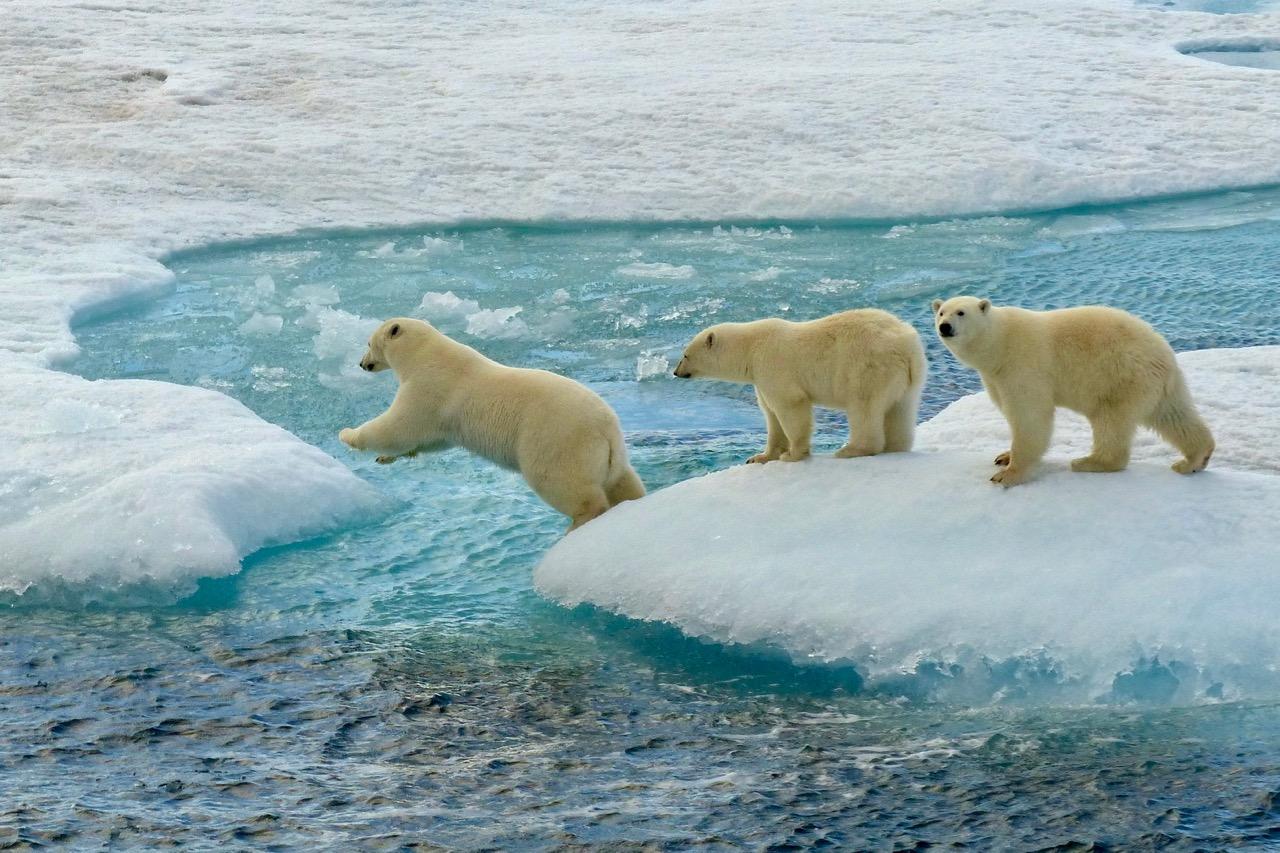 Greenland_polarbear